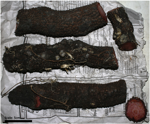 Fig-1-Hydnora-abyssinica-'mavumbule'-rhizomes-bought-from-Xipamanine-market-Maputo